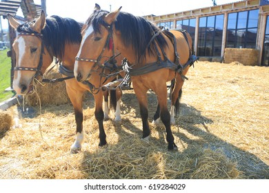 Two chestnut horses on the farm. Horses drawn by to a good harness