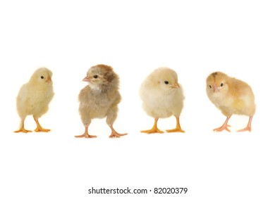 two chick on a white background
