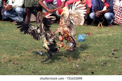 Two chickens fighting each other during Cockfight at a village in Bastar District at Chhattisgarh, India