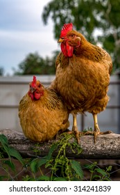Two chickens on a fence in the village
