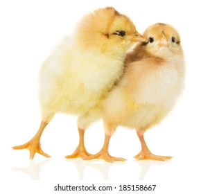 Two chicks on white background