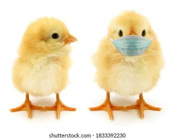 Zwei Küken nur eine mit Gesichtsmaske tragen oft epidemische Szene