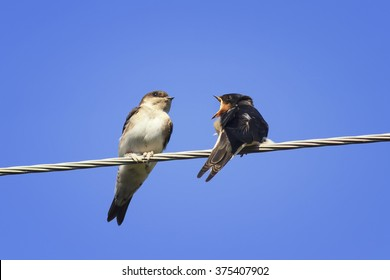 two Chicks swallows on the wires waiting for the mother bird