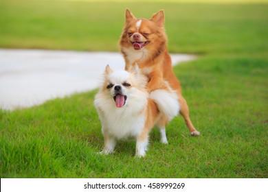 Deux Chihuahua faisant l'amour, des expressions amusantes.