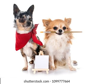 two chihuahua in front of white background