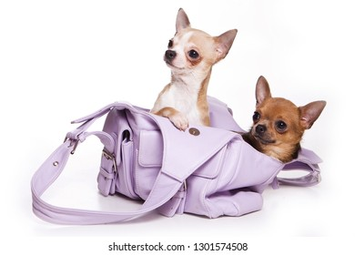 Two chihuahua puppies in a bag (isolated on white)
