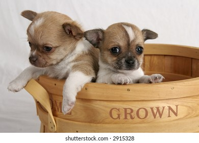 Two chihuahua puppies inside a wooden fruit basket