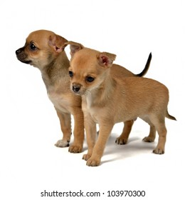 Two chihuahua puppies, isolated on white background