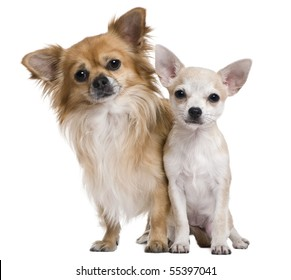 Two chihuahuas, 3 years old and puppy of 5 months, in front of white background