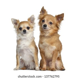 Two Chihuahuas, 5 and 4 years old, sitting next to each other, isolated on white