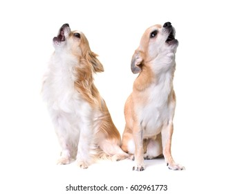 two chihuahuas howling in front of white background