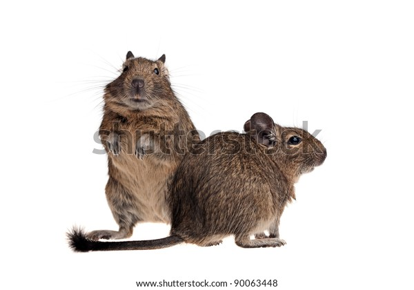two Chile rat degu isolated on white