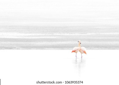 Two Chilean flamingos, Phoenicopterus Chilensis, embrace each other at Laguna Surire lagoon, with the beautiful contrast of the white Salt Lake in the background, Chile South America