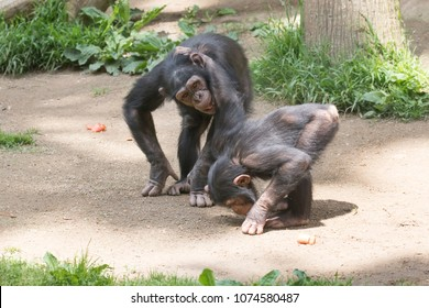 Two Chimpanzee pals, locked arm and arm