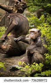 Two chimpanzees exhibit within the Dusit Zoo.
