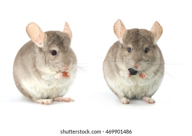 two chinchilla on a white background