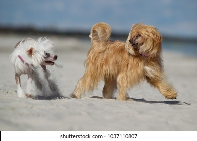 Two Chinese Crested dogs without leash outdoors in the nature on a sunny day.