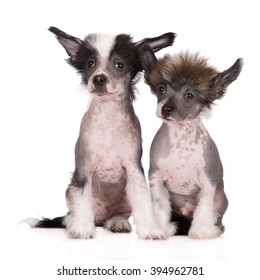 two chinese crested puppies sitting on white