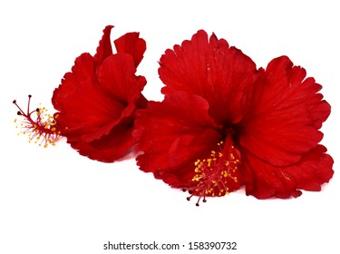 Two of Chinese Red Hibiscus Flowers isolated on white background