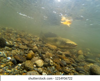 Two Chinook Salmon In The Cedar River