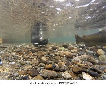 Two Chinook Salmon Swimming In The Cedar River