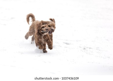 Two chocolate cockerpoos playing chase with a stick in the snow. Space for your text.