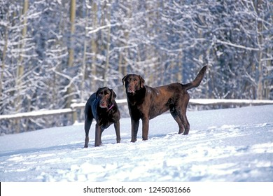 Two Chocolate Labrador Retrievers playing together in meadow in fresh snow.