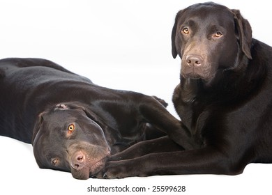 Two Chocolate Labradors Lying Down and Cuddling Together