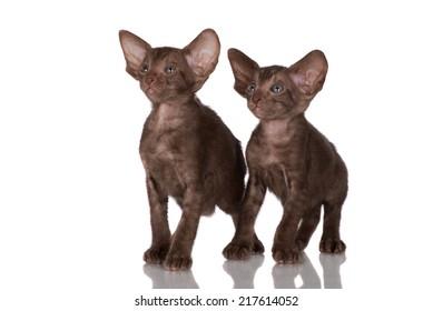 two chocolate oriental kittens