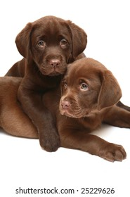 Two chocolate puppies breed a Labrador. Two dogs on a white background.