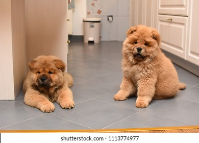Two chow chow puppy in the house. Purebred red dog chow chow puppies