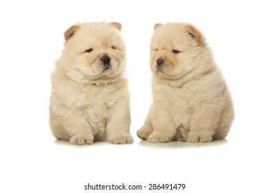 two chow-chow puppies isolated on white background
