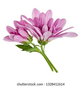 two chrysanthemum flower heads with green stem isolated on white background closeup. Garden flower, no shadows, top view, flat lay.