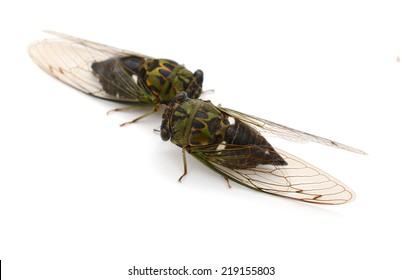 two cicada alive isolated