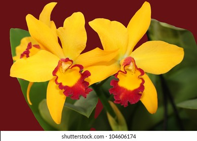two closeup blooms of orchid yellow and maroon
