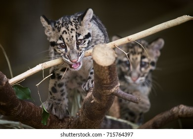 Two Clouded Leopard cubs at the Toronto Zoo, who are part of a captive breeding program to ensure the continuation of the species.