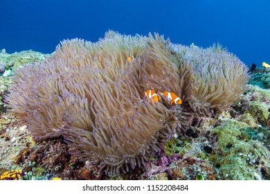Two clownfish (Amphiprion ocellaris) in a magnificent anemone (Heteractis magnificus) Raja Ampat, Indonesia.