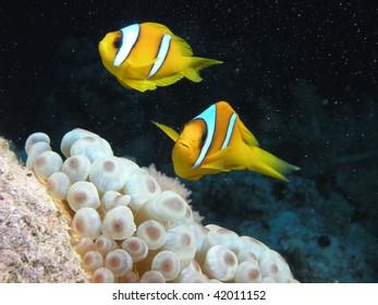 two clownfish swimming above anemone