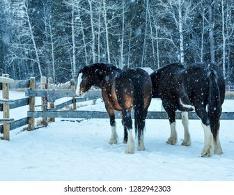 Two Clydesdale waiting for their oats on an Alberta Farm
