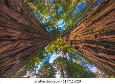 Two coastal redwood trees tower upward together on the trail through the Lady Bird Johnson Grove of Redwood National Park in Humboldt County of northern California, USA.