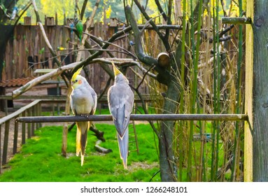 two cockatiels sitting a branch, one from the front and one from the back, small cockatoos from australia