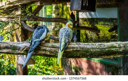 two cockatiels sitting together on a branch, popular aviary pets, tropical bird from Australia