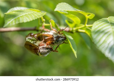 Two Cockchafer hanging from a branch/ Cockchafer on a branch / Cockchafer
