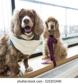 two cocker spaniel dogs wearing scarfs