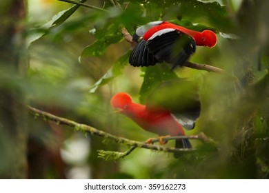 Two Cock-of-The-Rock Rupicola peruvianus,bright orange bird with fan-shaped crest fights on branch in its typical environment of tropical rainforest.National bird of Peru.Blurred green  background.
