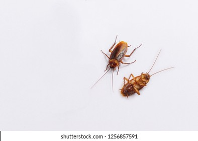 Two cockroaches on white background.