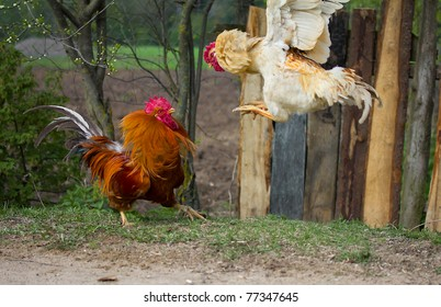 two cocks in fight