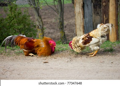 two cocks look at each other