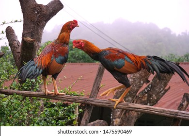 Two cocks standing on dried tree , background is fog.