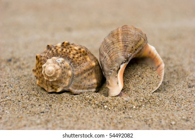 Two cock-shells on a sandy coast